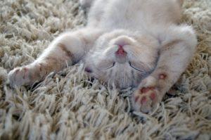 FCI Waukesha - Cat on Carpet